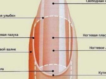 Анатомия рук кожи ногтей