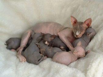 Сколько дней длиться беременность у кошек сфинксов