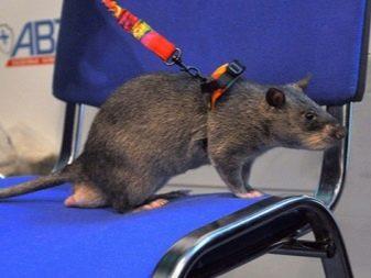 Крыса на поводке