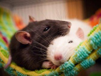 Японские имена для крыс