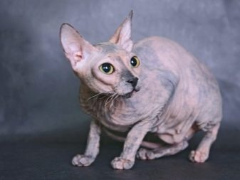 Породы сфинксов с шерстью кошек фото