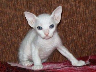 Породы сфинксов с шерстью кошек фото thumbnail