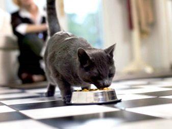 Порода кошек британцы фото черные thumbnail