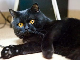 Порода кошек британцы фото черные