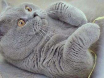 Британские кошки какие по характеру