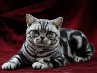 Порода кошки у тиграна
