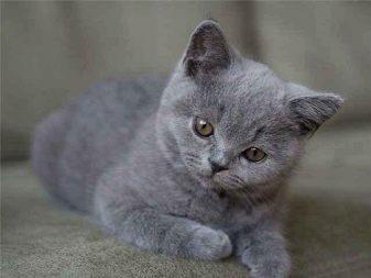 Сколько живут кошки британки в домашних условиях