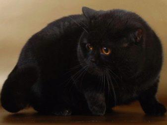 Сколько лет живут кошки британской породы в домашних условиях