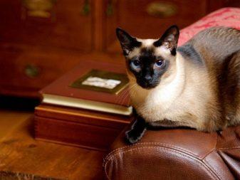 Сколько лет живут сиамские кошки в домашних условиях
