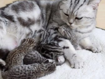 Корм для кошек шотландская прямоухая thumbnail