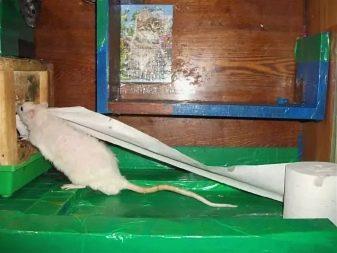 Туалетная бумага и крыса