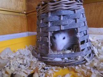 Крыса в плетенке