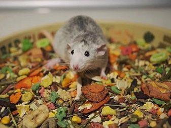 Крыса и корм