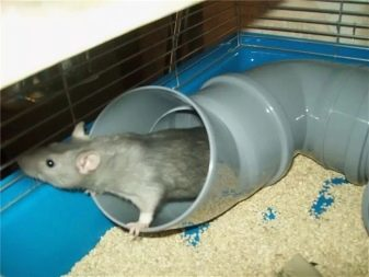 Крыса в трубе