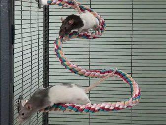 Крысы на веревке