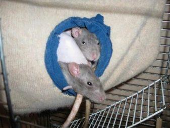 Крысы в домике