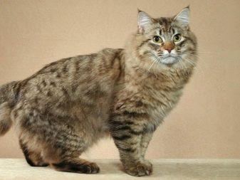 Кошек порода как рысь порода