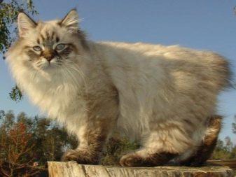 Кошек порода как рысь порода thumbnail