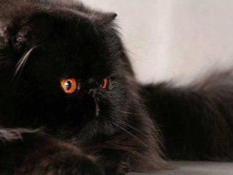 Породы черных кошек с фотографиями названиями thumbnail
