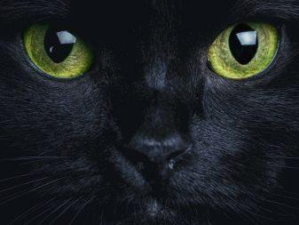Все породы кошек черного thumbnail