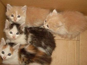 Сибирская кошка какие окрасы бывают