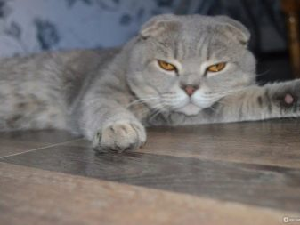Сколько лет живут кошки породы шотландская вислоухая thumbnail