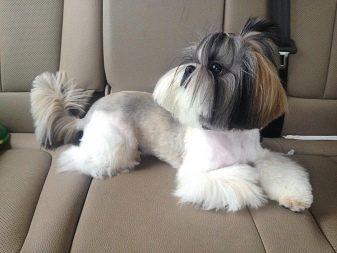 Ши-тцу: все о собаке, фото, описание породы, характер, цена 16