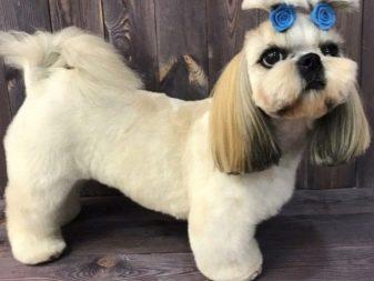 Ши-тцу: все о собаке, фото, описание породы, характер, цена 17