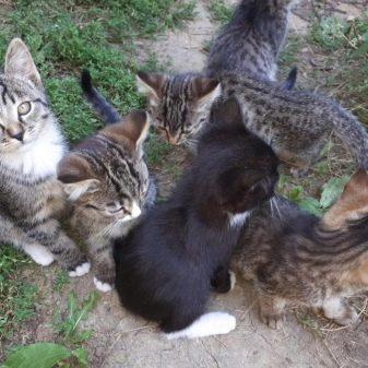 Породы кошек в бразилии thumbnail