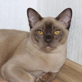 Описание характера бурманской породы и внешние характеристики кошки, стоимость и история выведения