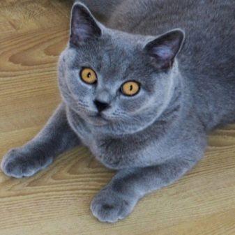 Английская порода кошек с голубыми глазами
