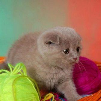 Шотландская порода кошек лиловая