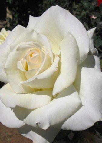 Свадебные букеты из мелких роз