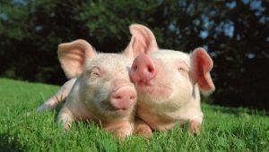 Мужчина Козерог, рожденный в год Свиньи: характеристика личности и совместимость в любви