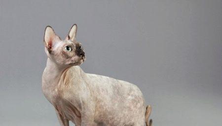 Беременные кошки сфинксы: характеристика, сроки, уход