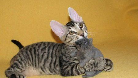 Кошки породы сфинкс с шерстью: бывают ли, как они называются и почему так происходит?