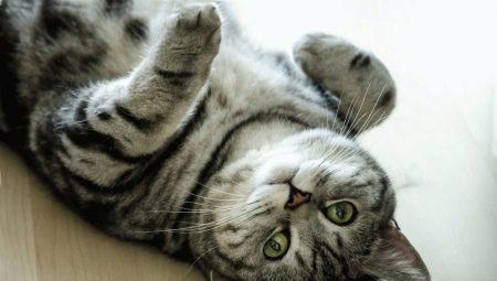 Окрас британской кошки Whiskas: особенности цвета и тонкости ухода