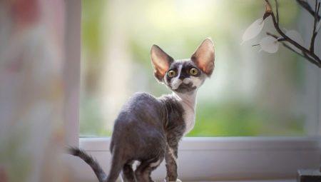 Описание и содержание кошек породы девон-рекс
