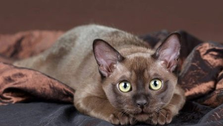 Британская кошка вислоухая шоколадная