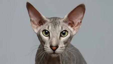 Петерболд: описание породы кошек, характер и содержание
