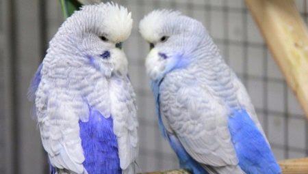 Попугай чех: отличительные особенности и правила ухода