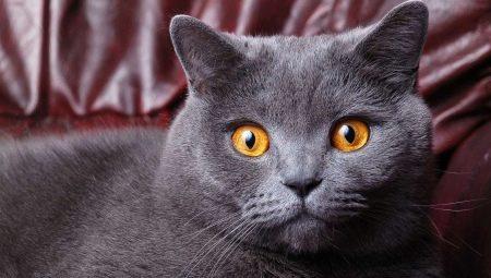 Сколько лет живут кошки британской породы в домашних условиях thumbnail