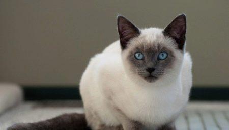 Сколько живут сиамские кошки и от чего это зависит?