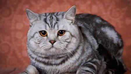 Все о британских мраморных котах