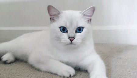 Как называется порода кошки коби thumbnail