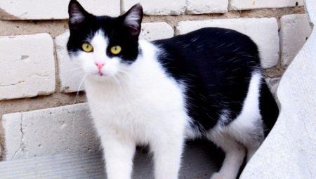 Черно-белые коты: поведение и распространенные породы