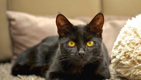 Популярные породы черных кошек и котов