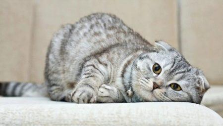Сколько живут шотландские вислоухие кошки и от чего это зависит?