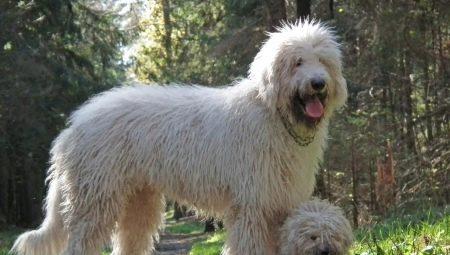 dadff58403c6 Венгерская овчарка (36 фото): описание породы собак комондор ...