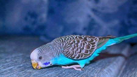 Описание голубого попугая